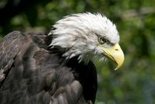 Free Eagle Head Royalty Free Stock Image - 608786