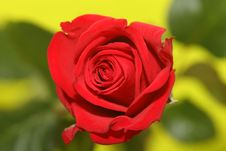 Free Rosered Stock Image - 609681
