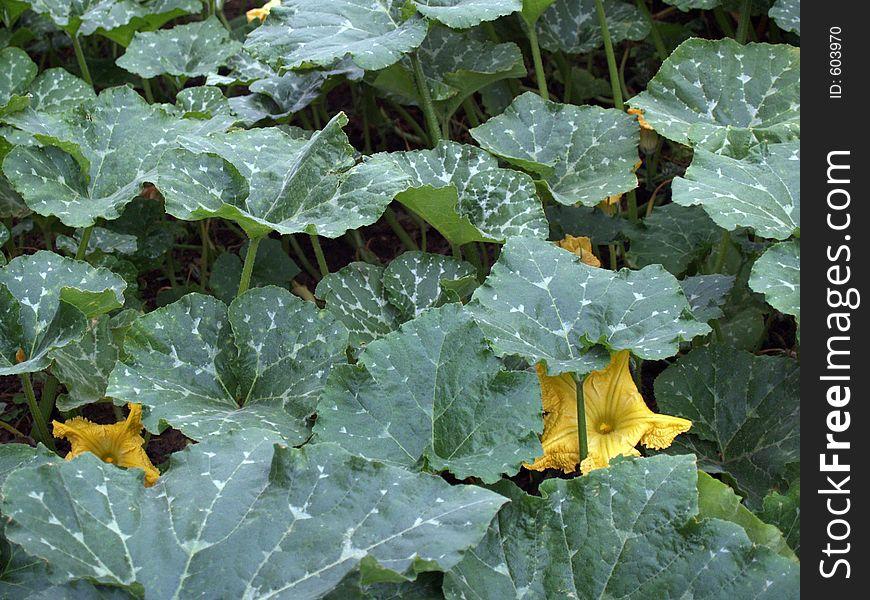 Gourd plant