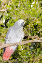 Free African Grey Parrot Royalty Free Stock Images - 6007759