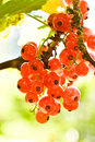 Free Red Currant Stock Image - 6008801
