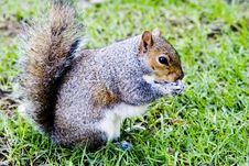 Free Cute Gray Squirrel Stock Photos - 6000753