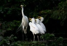 Free Happy Egrets Royalty Free Stock Photography - 6002757