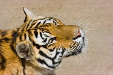 Hungry Tiger Royalty Free Stock Photos