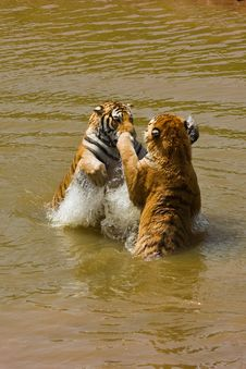 Free Water Tiger Action Royalty Free Stock Photo - 6005885