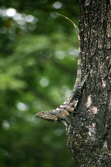 Free Iguana On A Tree Royalty Free Stock Photos - 6006198