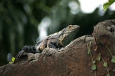 Free Iguana On A Wall Stock Photography - 6006202