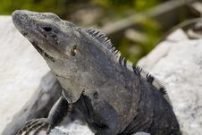 Free Iguana Basking On Rocks Stock Images - 6006704