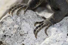 Free Closeup Of Claws Of Iguana Royalty Free Stock Image - 6006706