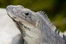 Free Iguana Basking On Rocks Stock Photography - 6006712
