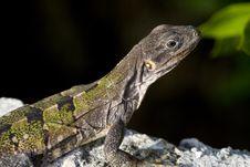 Closeup Of Rainbow Amieva Lizard Stock Photos