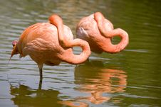 Free Two Flamingos Resting Stock Photography - 6006832