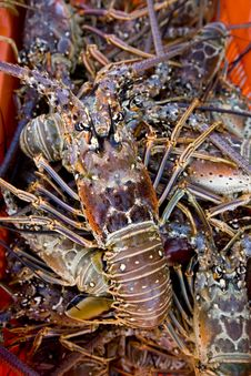 Free Recently Caught Lobster Royalty Free Stock Photos - 6006898