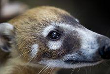 Free Closeup Of Baby Coati Royalty Free Stock Photos - 6006918