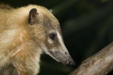 Closeup Of Coati Stock Photos