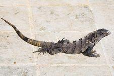 Free Full View Of Black Iguana Stock Photo - 6006940