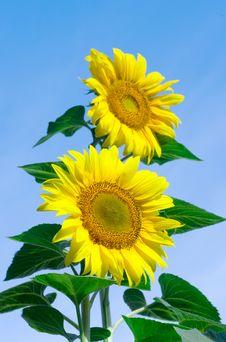 Free Sunflowers Stock Image - 6007671