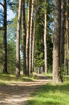 Free Footpath In A Pine Wood Royalty Free Stock Image - 6007776