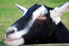 Free Black And White Goat Royalty Free Stock Photo - 6007845