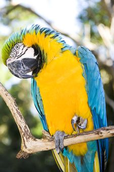 Free Blue And Gold Macaw Stock Images - 6008044