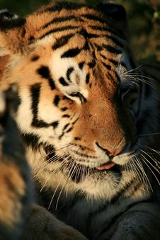 Free Captive Tiger Stock Photography - 6008072