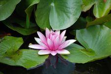 Free Free Pink Lotus Stock Images - 6008194