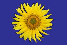 Free Single Sunflower Royalty Free Stock Photos - 6008248