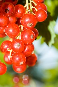 Free Red Currant Royalty Free Stock Photos - 6008788