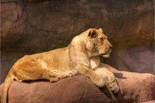 Free HDR Lion On A Rock Royalty Free Stock Photography - 6009147