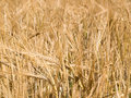 Free Golden Yellow Wheat Ready For Harvest Royalty Free Stock Photos - 6010038