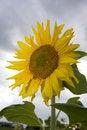Free Sunflower Stock Photos - 6010533