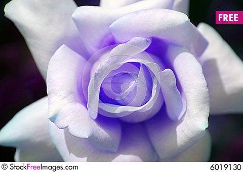 Free Purple Rose Stock Photo - 6019130