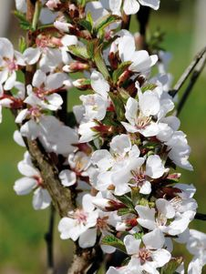 Blossoming Wild Plum. Spring.