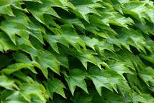 Free Ivy Green Leafs Royalty Free Stock Photos - 6011378