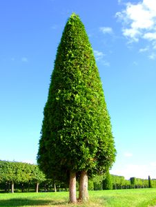Free Lonely Pyramidal Tree Stock Photography - 6011842