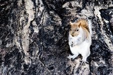 Free Squirrel Royalty Free Stock Image - 6011956