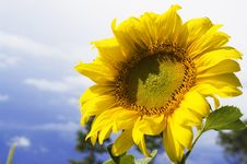Free Sunflower Royalty Free Stock Images - 6012409