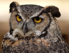 Free Great Horned Owl Stock Image - 6012751
