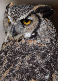 Free Great Horned Owl Stock Images - 6012784