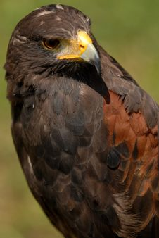 Free Harris Hawk Stock Image - 6012831