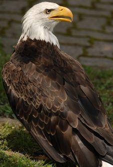 Free Bald Eagle Royalty Free Stock Photo - 6012845