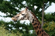 Free Giraffe Royalty Free Stock Images - 6012859