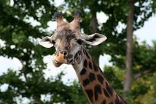 Free Giraffe Stock Photo - 6012870