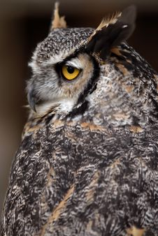 Free Great Horned Owl Stock Photos - 6012873