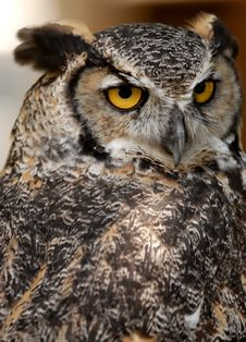 Free Great Horned Owl Royalty Free Stock Photography - 6012937