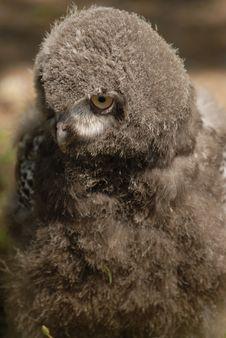 Free Baby Snowy Owl Stock Image - 6013111