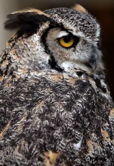 Free Great Horned Owl Stock Photo - 6013290