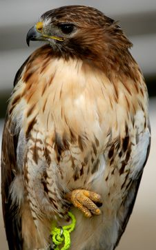 Free Red Tailed Hawk Stock Image - 6013421