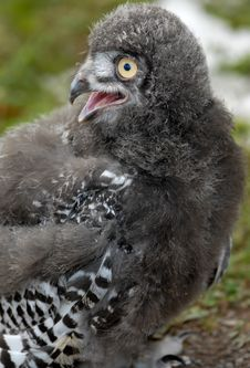 Free Baby Snowy Owl Stock Image - 6013461