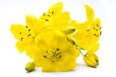 Free Yellow Lily Royalty Free Stock Images - 6013519